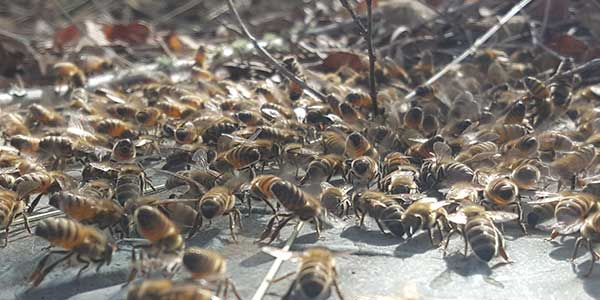 bee swarm removal service