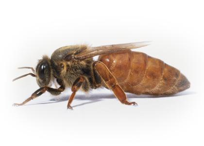 queen bee and nuc sales