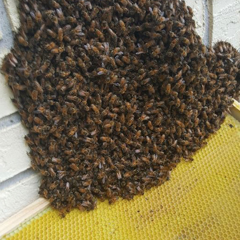 tampa-honey-bee-swarm