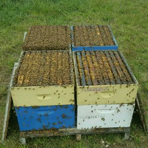 packed bee colonies for sale