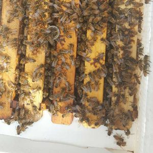 quality bee nucs for sale